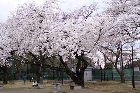 080331_05_sakura