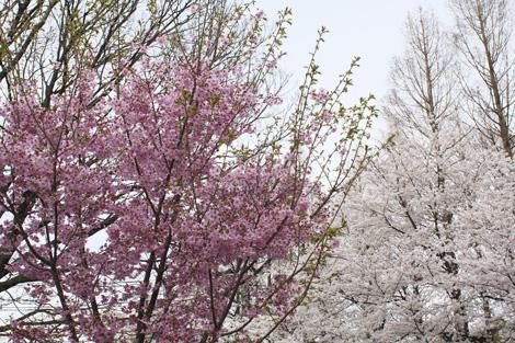 080331_07_sakura