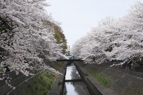 080331_08_sakura