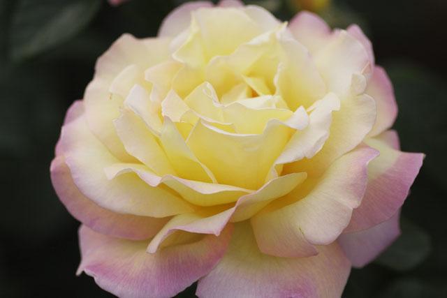 100522_rose