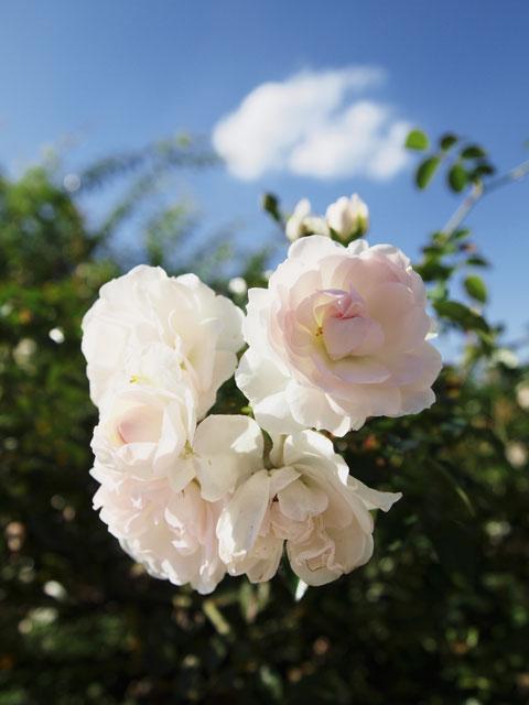 101103_1_rose