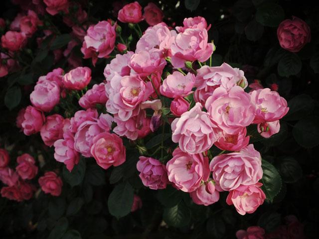 110521_rose