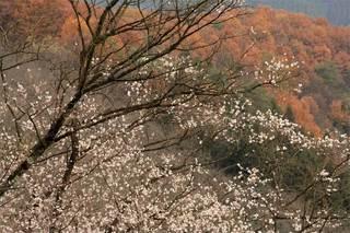 fuyusakura01_051204